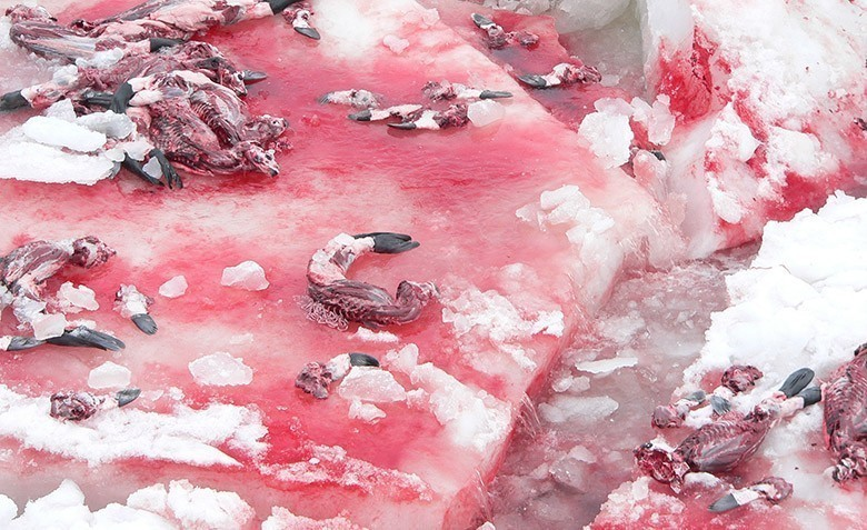 CANADA'S SEAL SLAUGHTER 3
