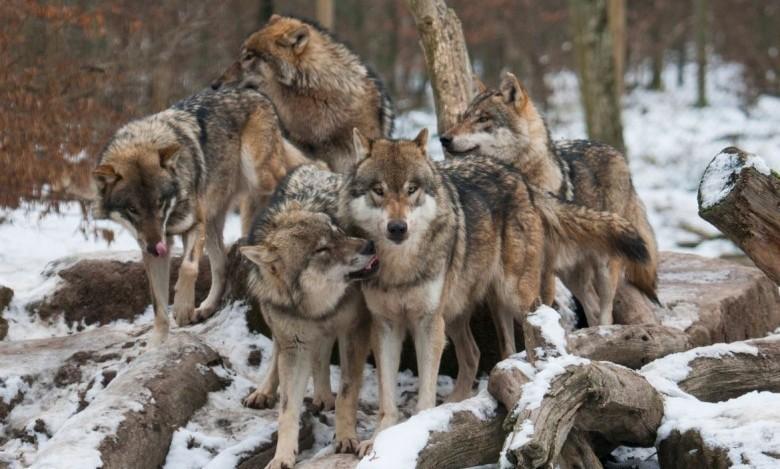 Abattre les loups ? Le gouvernement demande votre avis (et n'en tient pas compte)