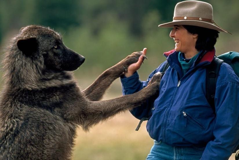 Un couple a vécu 6 ans avec des loups pour changer notre vision sur eux L5-825x553