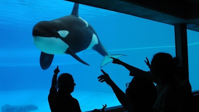 orca whales captive or free Can captive whales or dolphins be returned to 2:16pm in 1993, warner bros released free willy, the tale of a captive orca and his 12-year-old human friend the popular film ended do you people realize there has been over 600 wild killer whales taken from the wild into captivity from.
