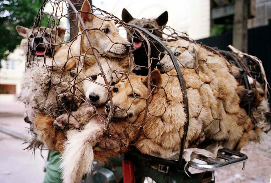 rescued-dogs-yulin-dog-meat-festival-china-24