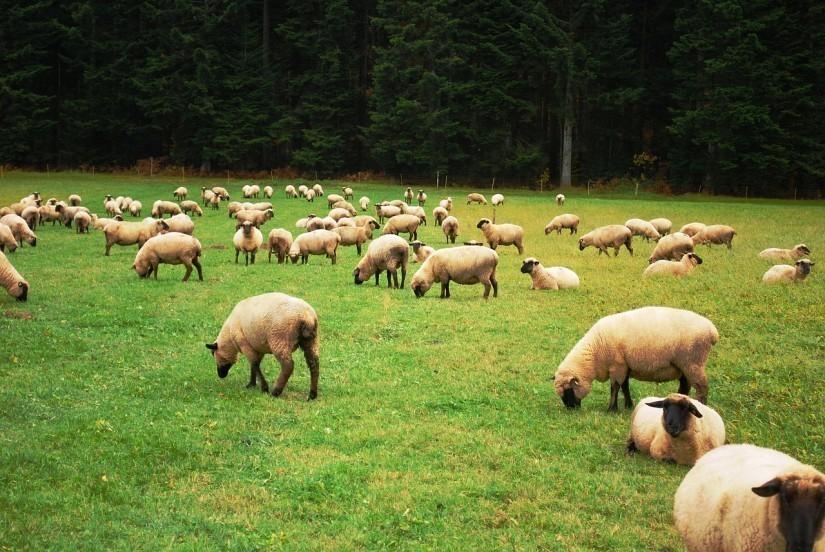 sheep-274574_1280
