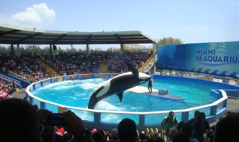 Lolita, l'orque qui vit dans un bassin de 10m depuis 40 ans