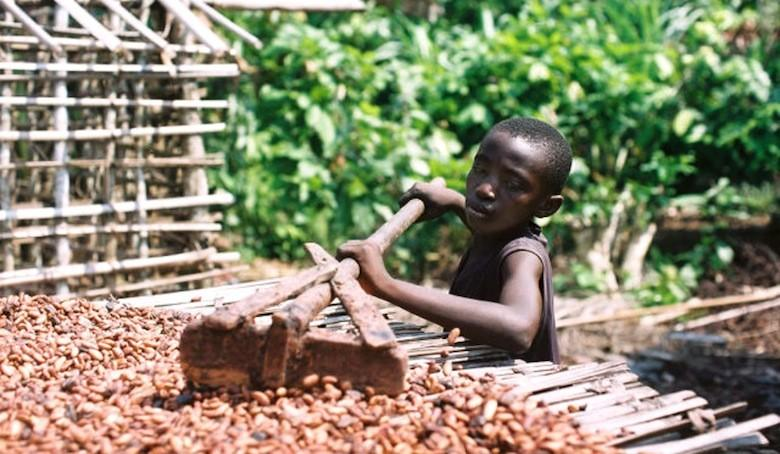 Plus de 500 000 enfants travaillent dans les plantations de cacao