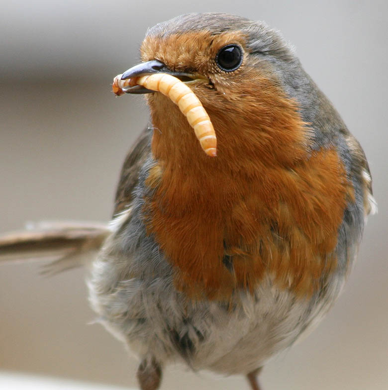 European_Robin_(Erithacus_rubecula)_with_mealworm
