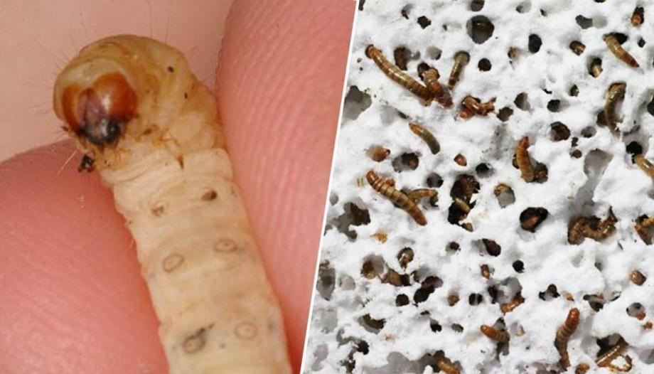 Découverte : les vers de farine recyclent le plastique en le mangeant