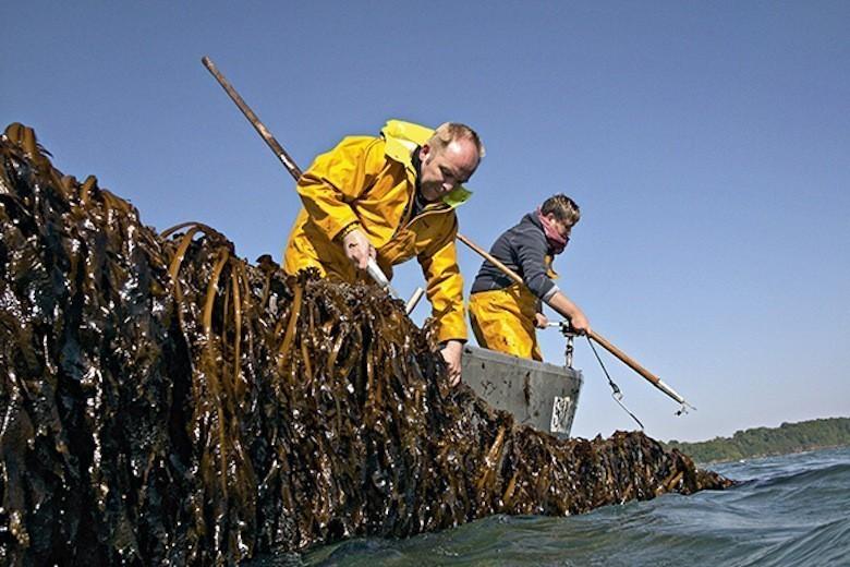 algues sur filière en mer