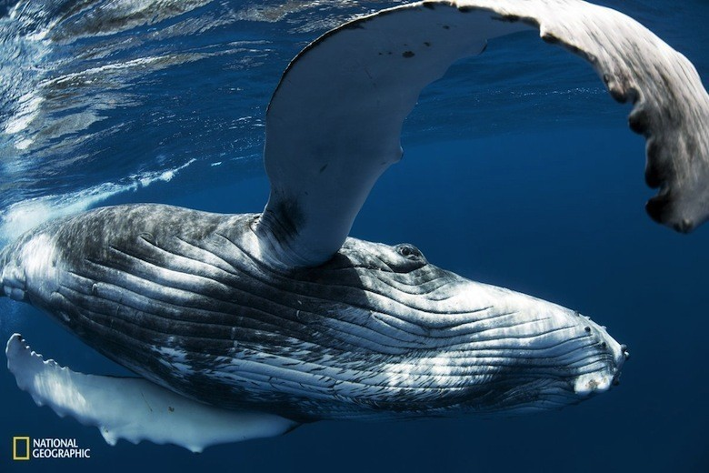 an-inquisitive-andplayful-female-humpback-whale-calf-in-neiafu-vavau-tonga-measures-photographer