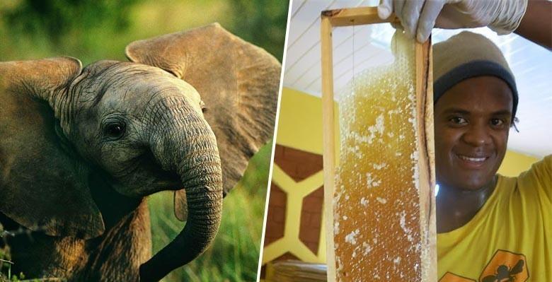 Des ruches pour protéger les éléphants ? Une idée de génie testée au Kénya