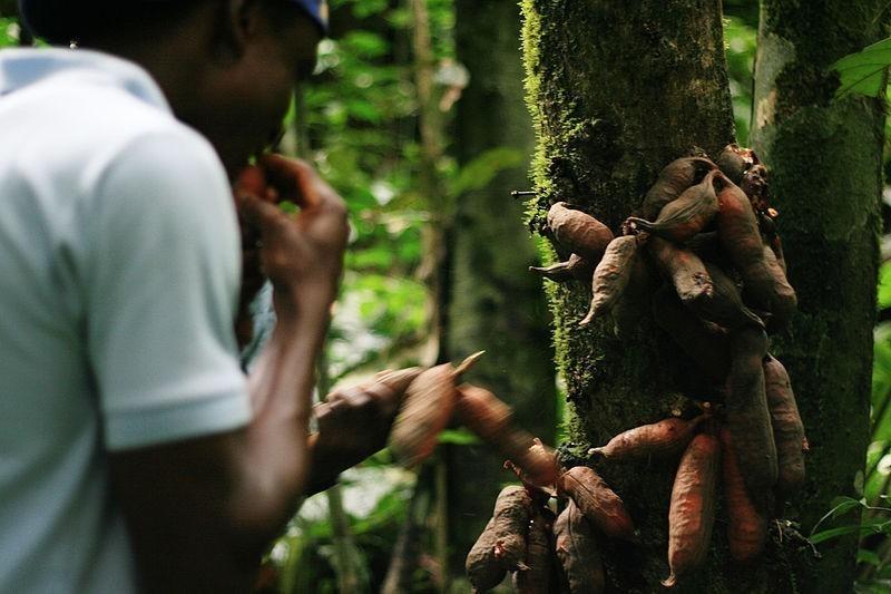 Récolte_des_produits_forestiers_non_ligneux_à_Tayap