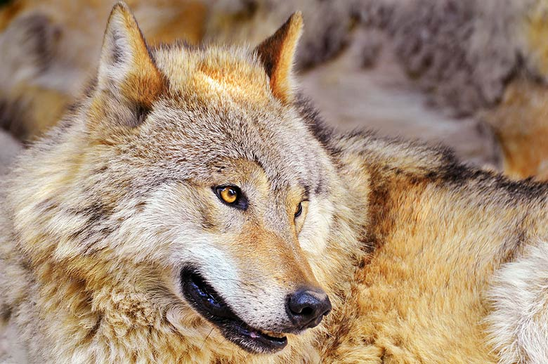 03_loups_france_tue